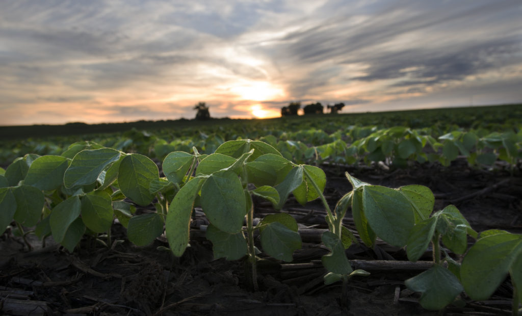 Home Page Soybeans Sprouting